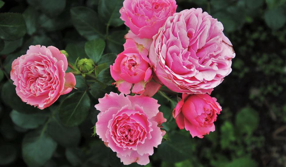 Prepara tu jardín de rosas