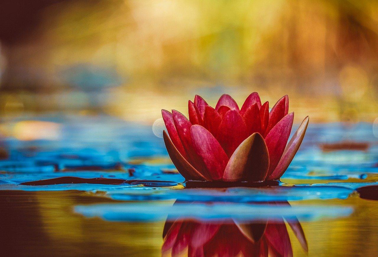 Plantas de estanques, los adornos acuáticos